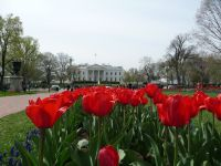 Tulips outside the White House